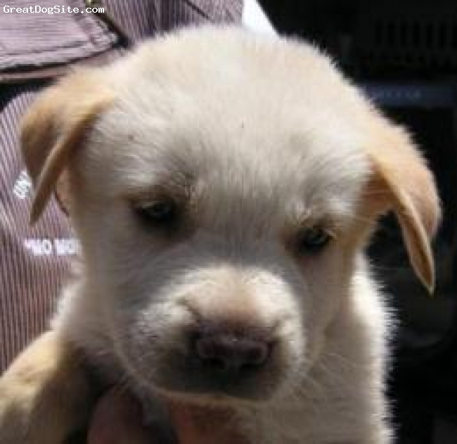 Labrador Retriever, 6 weeks, yellow, verry sweet i love her